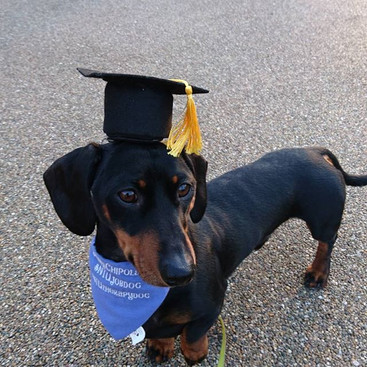 Dachshund at graduation