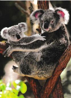 Koala-with-baby