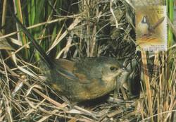 noisy-scrub-bird