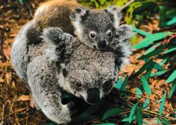 Koala-with-baby-on-back