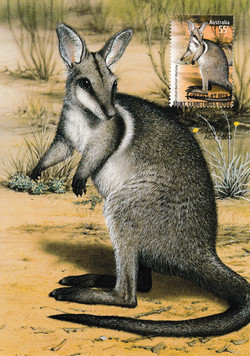 bridled-nailtail-wallaby