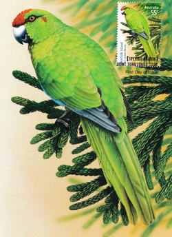 norfolk-green-parrot