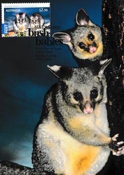 Bushtail Possum