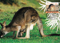 Kangaroo(1)