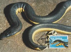 Yellow-bellied-sea-snake
