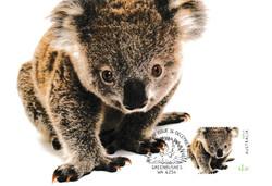 Koala-greenbushes