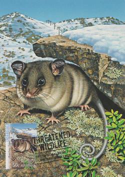 mountain-pygamy-possum
