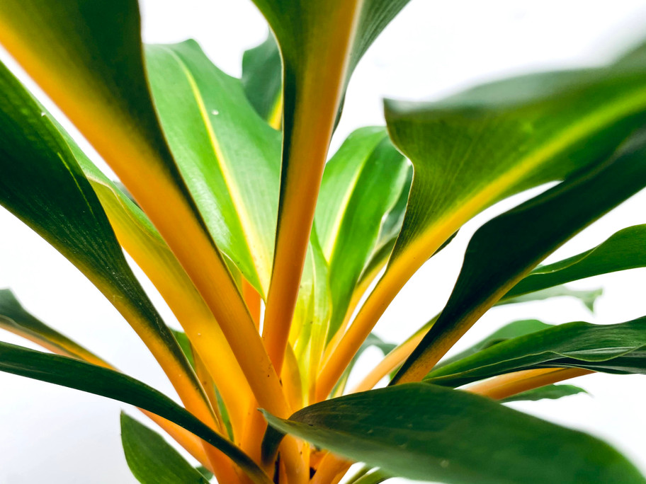 CHLOROPHYTUM GREEN ORANGE