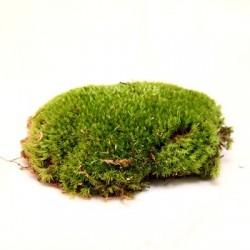 DIY - Plantes : Mousse boule étoilée (+/- 10 x 10 cm)