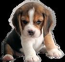 ビーグル子犬3