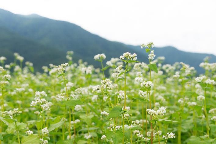 信州そば畑