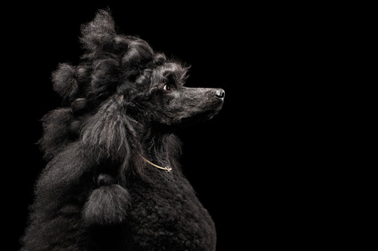 glam poodle black cover.jpg