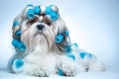 Shih tzu dog with curlers.jpg