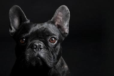 french bulldog black (2).jpg