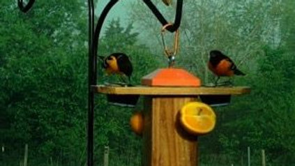 Tree Bird Oriole Trunk