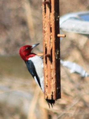 Woodpecker Limb Feeder