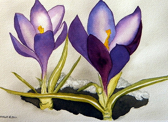 Crocus 'N' Snow - Giclee' Fine Art Prints