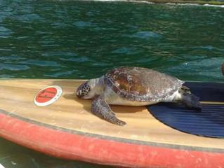 Tartaruga morta na Praia Vermelha