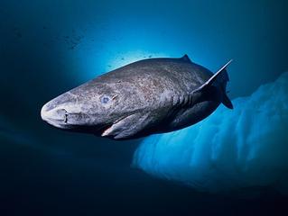 O tubarão com cerca 400 anos