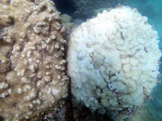 """Algas """"treinadas"""" para evitar o branqueamento de corais"""