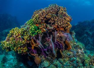 Características surpreendentes da desova de corais