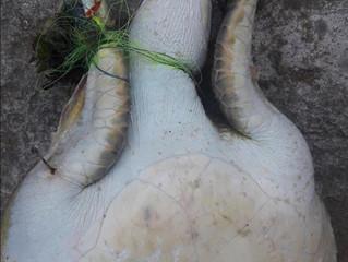Tartaruga morta por petrechos de pesca na Praia Vermelha, Rio de Janeiro