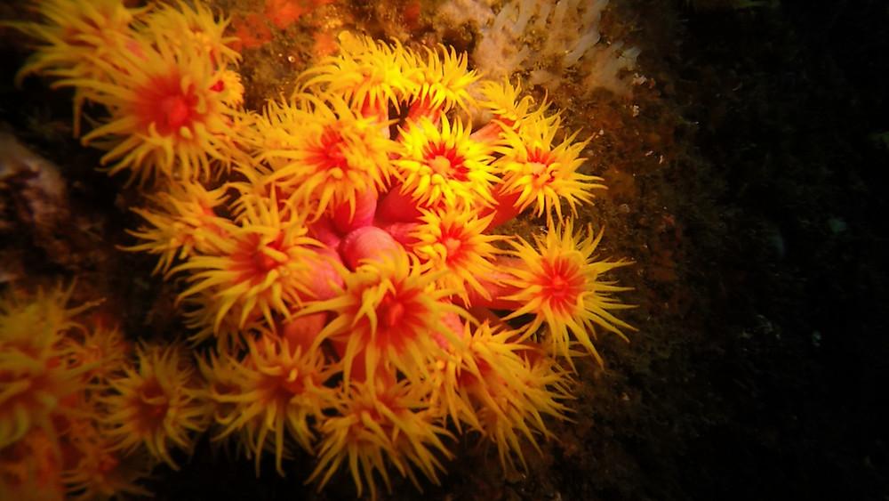 Coral Sol nas Ilhas Tijucas, na cidade do Rio de Janeiro