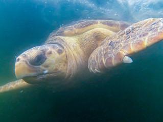 Soltura de tartaruga-cabeçuda nas Ilhas Cagarras