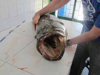 IBAMA apreende Mero em peixaria de Salvador