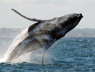 A comunicação das Baleias Jubarte