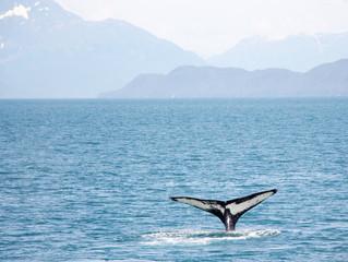 Barulho da pesca de arrasto é mais uma ameaça aos mamíferos marinhos