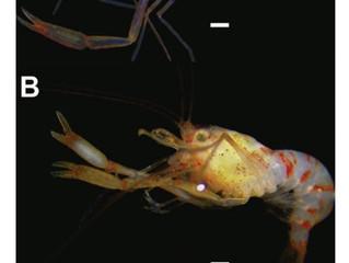 Chico Science é homenageado em nome de novo gênero e espécie de crustáceo