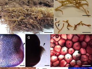 Nova espécie de algas vermelhas ameaçam corais no Havaí