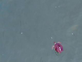 VÍDEO: Soltura de tartaruga na Praia Vermelha