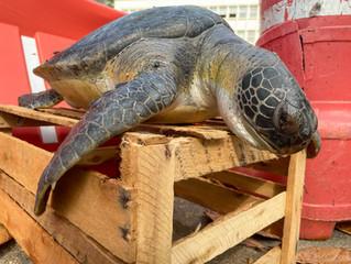 Tartaruga marinha salva no Rio de Janeiro