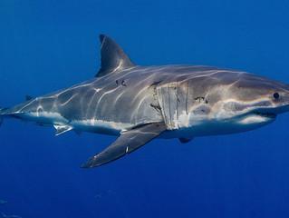 Cinco espécies de tubarão que valem a pena conhecer