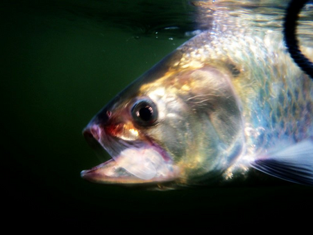 COASTAL FISHING:  AMERICAN SHAD RUNS