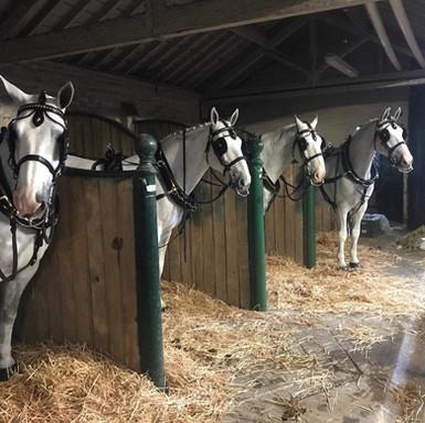 Horses Ready To Go