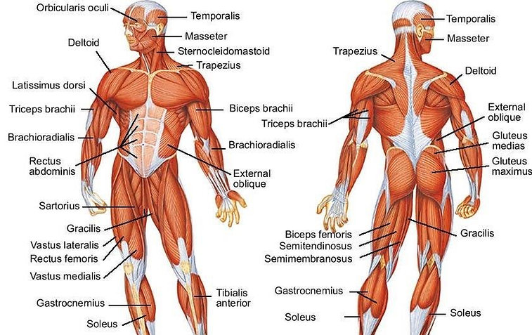 free science lesson plan and resources human body systems muscular system