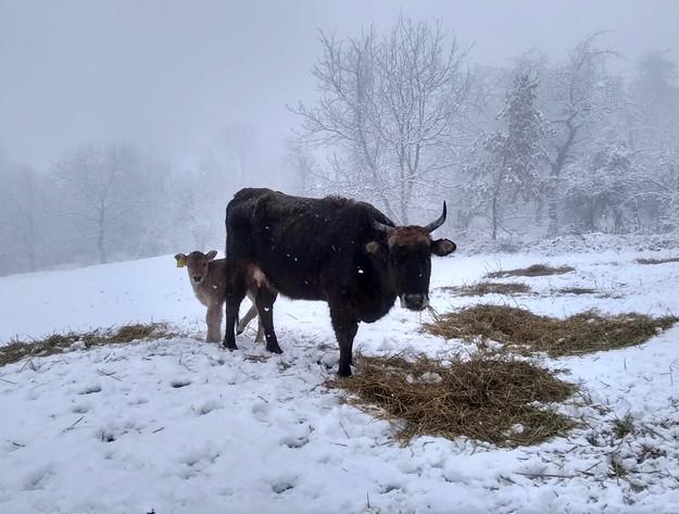 cowsinsnow.jpg