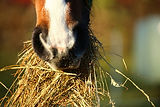horse_hay_eat_foot_thoroughbred_arabian_