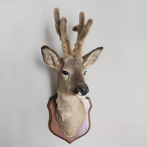 Pretty Taxidermy Deer Head Medium