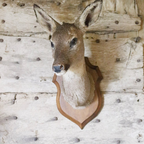 Pretty Deer - Taxidermy Head
