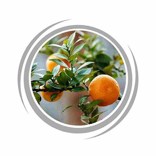 Chinotto Orange Tree