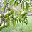 Thumbnail: Aztec - White Sapote (Grafted)