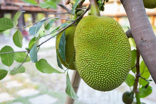 Jackfruit (Grown from seed)