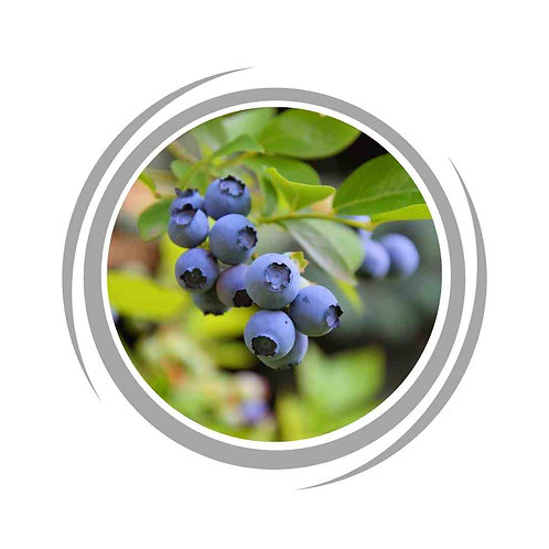 Blueberry fruits tree delivered Perth