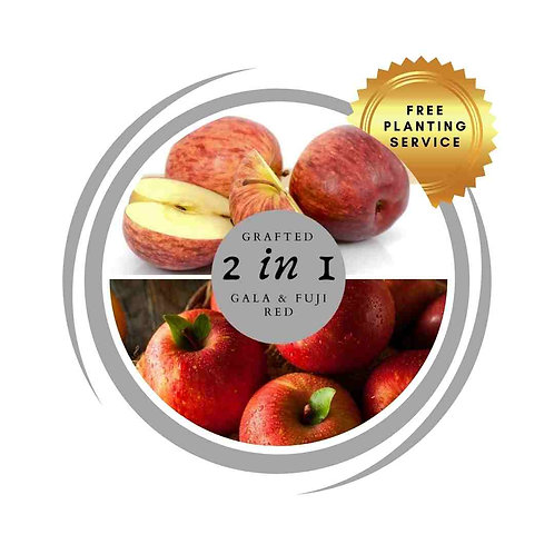 2 way apple grafted Gala Fuji delivered Perth