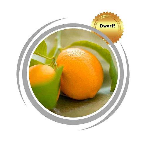 Dwarf lemon Meyer citurs fruit trees delivered Perth