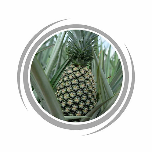 Pineapple fruit trees grow delivered in Perth